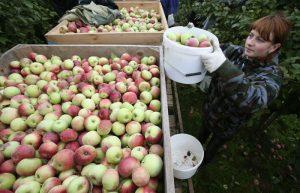 Гостелеканал показал, как в Белыничском районе педагогов отправляют собирать яблоки