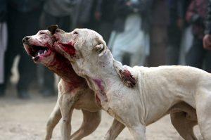 Нападение собаки на людей в Бобруйске. Возможно, их специально выращивают для боёв